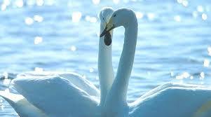 20120321233121-cisnes.jpg