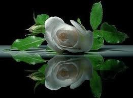 20140225200754-rosa-blanca.jpg