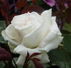 20120412220256-rosa-blanca-2.jpg