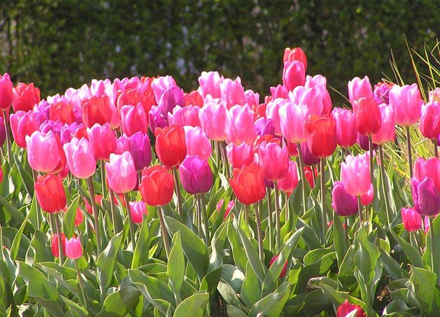 20130916181240-tulipanes-imagenes.jpg